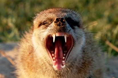Meerkat Yawn