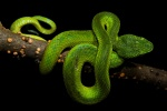 Emerald palm viper – Bothriechis marchi – Cusuco National Park, Honduras