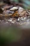Cerrophidion wilsoni – Cusuco National ParkHonduras